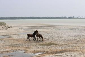 Wild Horses in Delft Island