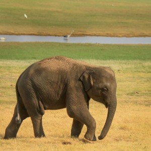 Baby Elephant at Minneriya National Park