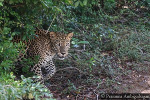 Male Leopard Y, Thala Wila, Willpattu National Park, Sri Lanka