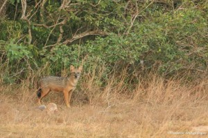 Sri Lanka Golden Jackal on Air @ Willpattu National Park, Sri Lanka