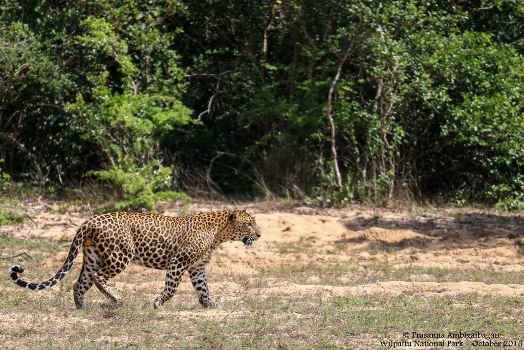 Sri Lankan Leopard @ Willpattu National Park, Sri Lanka