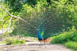 Indian Peacock at Udawalawa National Park, Sri lanka