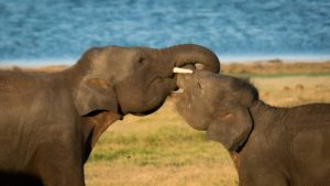 Elephant hugging at Minneriya National Park