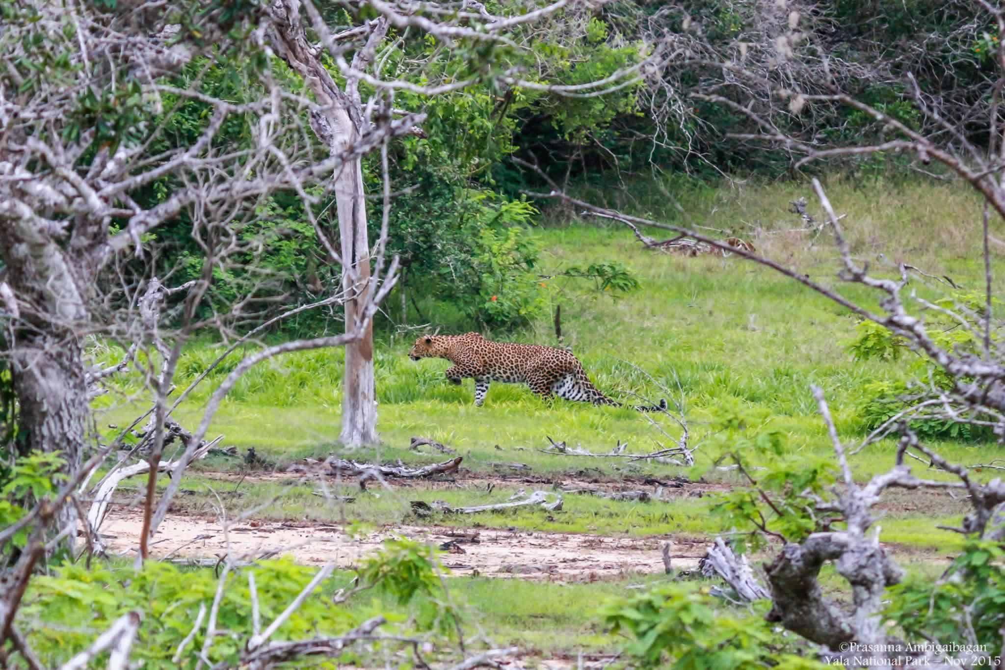 Sri Lankan Leopard Yala National Park Sri Lanka 171 Synergyy