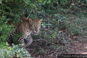 Srilanka Leopard